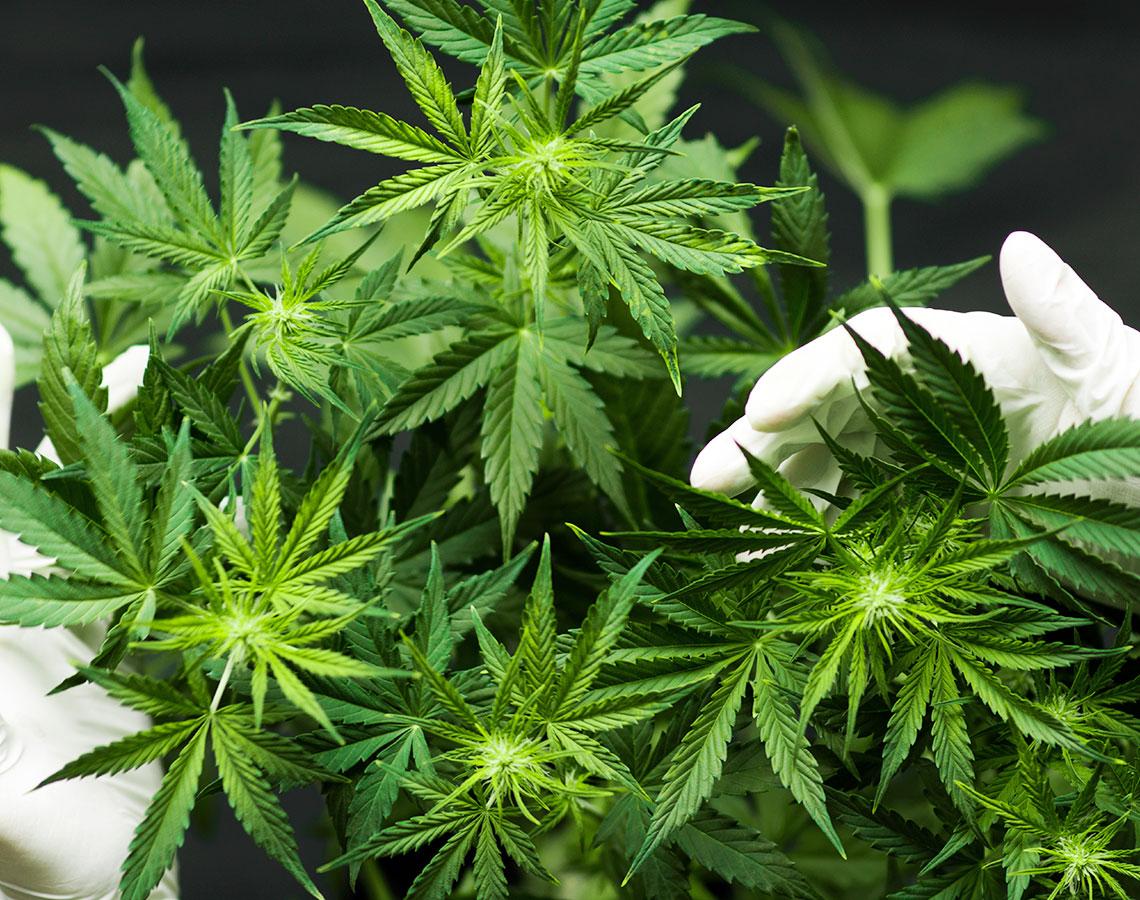 Cannabis Plant Farm